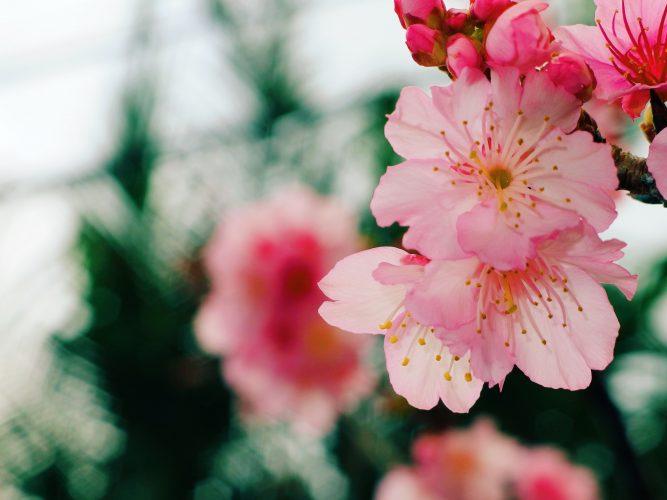Okinawan Cherry Blossom